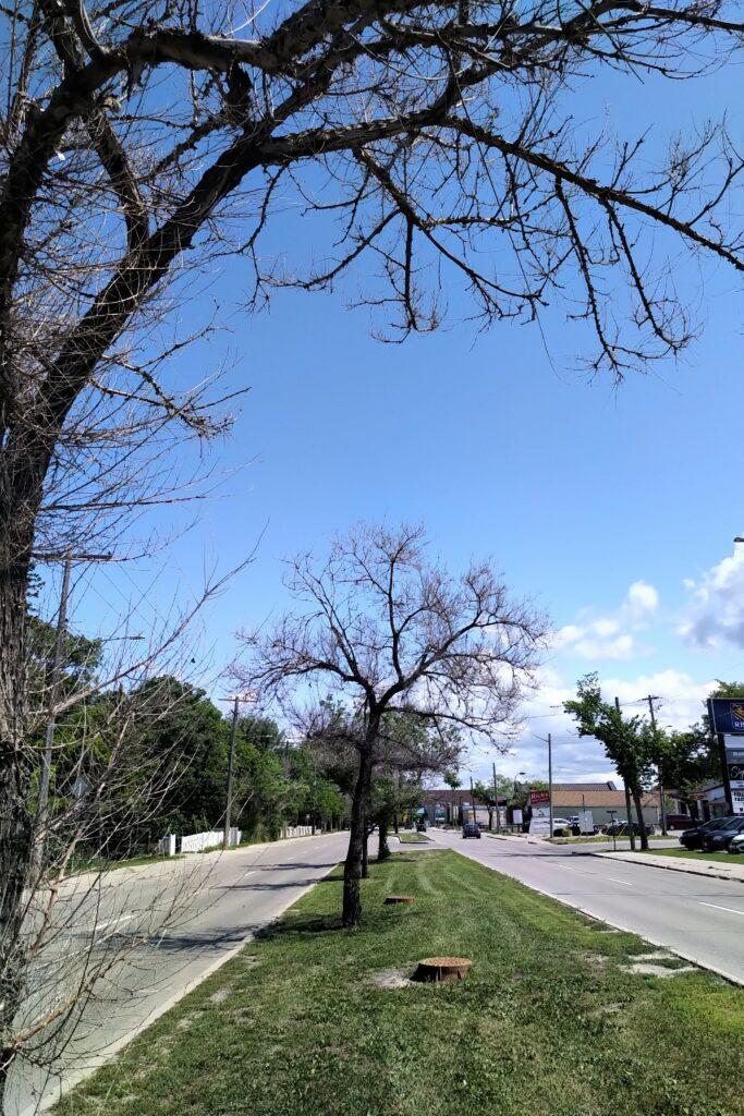 Winnipeg dying trees
