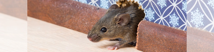 There is no such thing as one mouse in your house