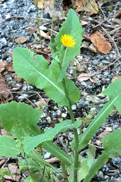 Sow thistle.